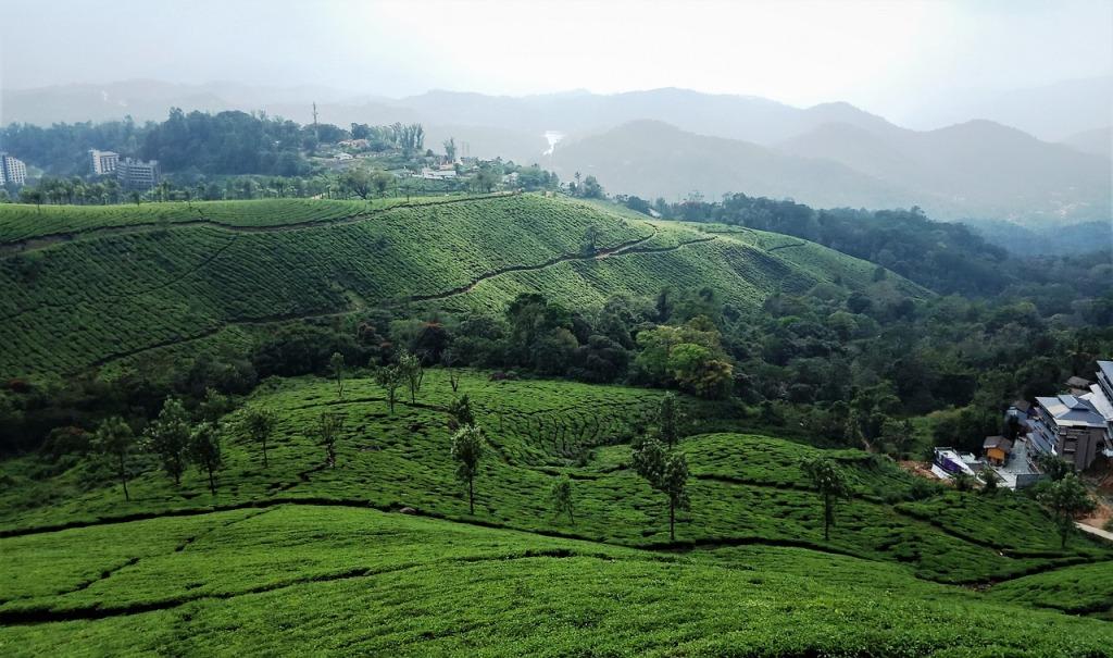 tea palantation in munnar