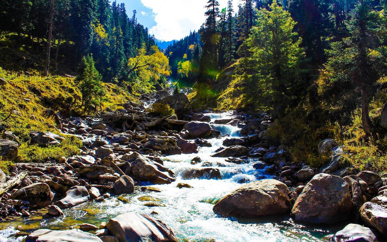 Stream flowing through the dense forest of pine trees